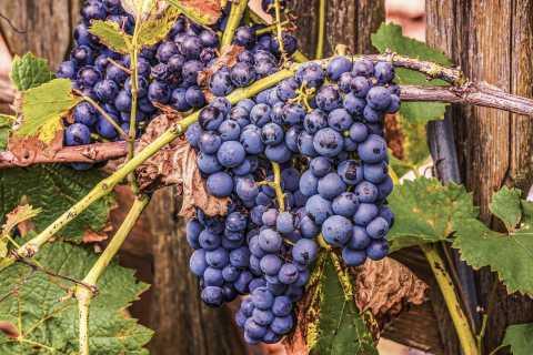 Mallorca: Weintour in die Inselmitte