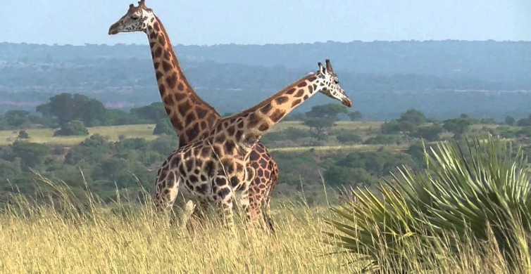 Kampala: 2-tägige Safari im Murchison Falls National Park