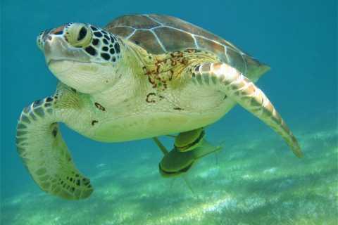 Desde Cancún y la Riviera Maya: Tulum y baño con tortugas