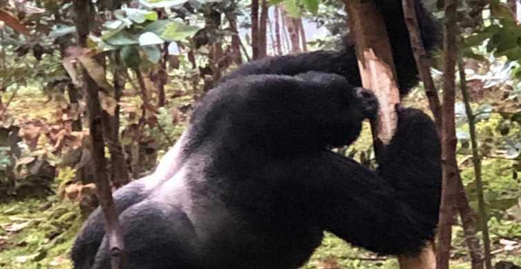 Rwanda: 3-Day Gorilla Trekking, Big 5 & Big Cats Safaris
