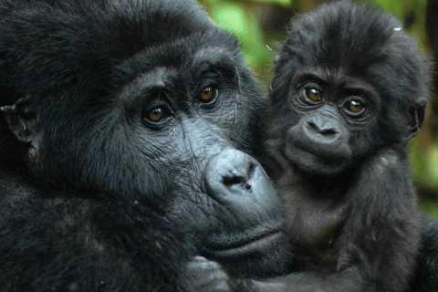 Von Kampala: Gorilla Trekking im Bwindi Forest 3-tägige Tour