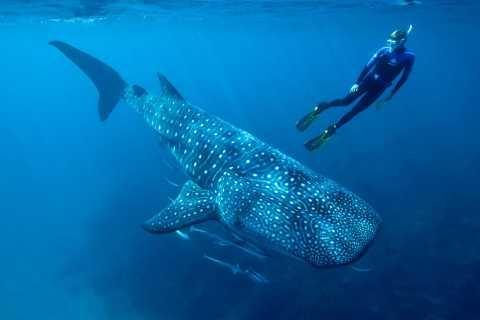 Cancun & Riviera Maya: Whale Shark Tour + Playa Norte Beach