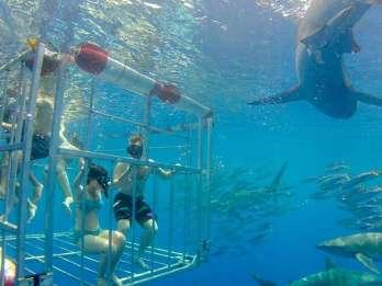 Oahu: 2 Stunden Käfigtauchen mit Haien an der Nordküste