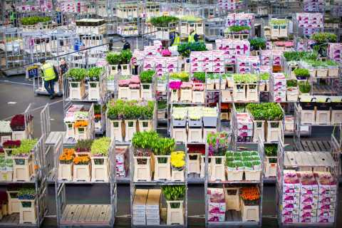 Aalsmeer: Flower Auction Guided Tour