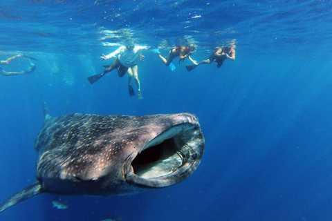 Cabo San Lucas: experiencia de natación con tiburones ballena de día completo