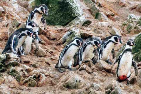De Paracas: excursion en bateau sur l'île de Ballestas