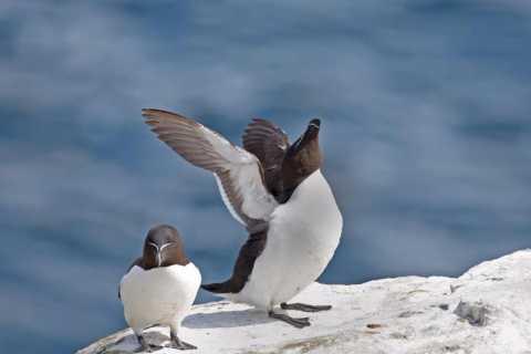 Berthier-sur-Mer: Razorbill Penguin Observation Cruise