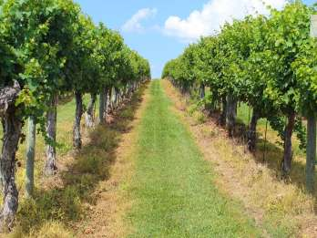 Williamsburg: Lokale Virginia Wineries Tour mit Verkostungen