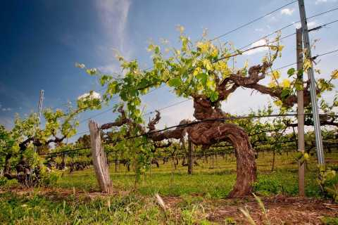 Clare Valley: Full-Day History & Wine Tour with Lunch