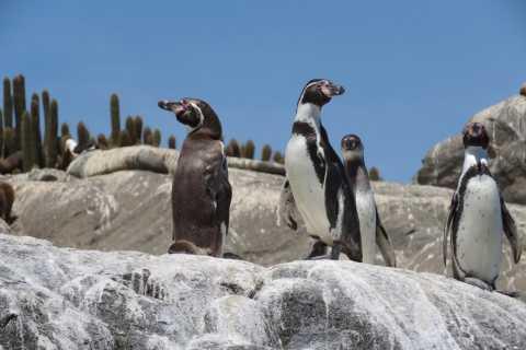 Santiago: Tesouros do Pacífico, Pinguins e Alpacas