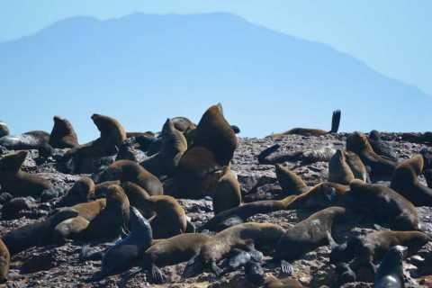 Mossel Bay: Seal Island Bootsfahrt mit Führer