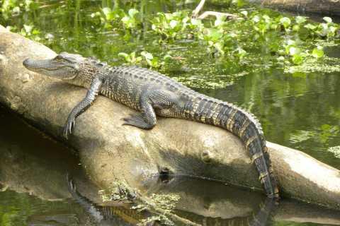 Louisiana Bayous 2-Hour Swamp Tour