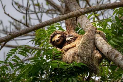 Puerto Limon: Sloth Lovers Shore Excursion at Cahuita Park