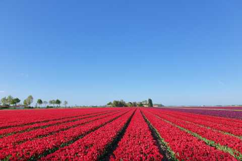 From Amsterdam: Day Trip to Keukenhof, Tulips Fields & Delft