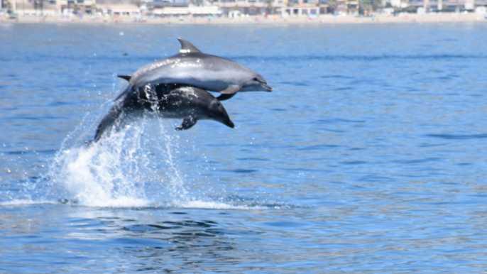 Benalmadena: Dolphin Watching Boat Tour