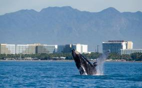 Puerto Vallarta: Whale Watching Cruise
