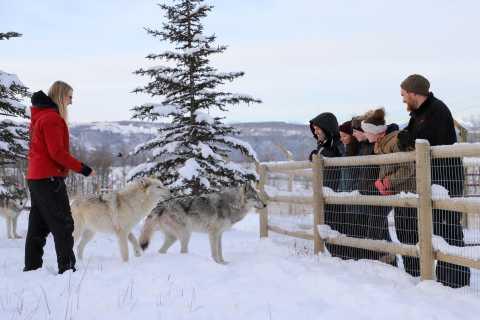 Cochrane: Yamnuska Wolfdog Sanctuary Tour