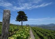 Linguaglossa: Weinprobe am Ätna Nord