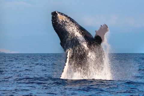 Honokohau: cruzeiro de catamarã para observação de baleias em Kona