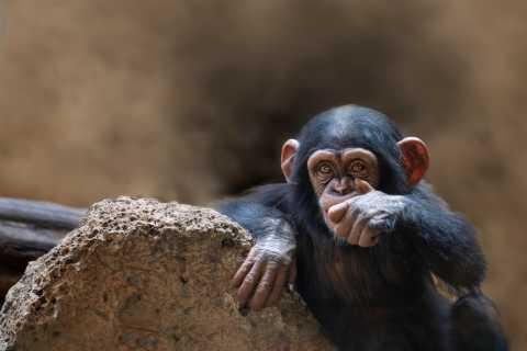 Queen Elizabeth National Park 2-tägige Schimpansen-Trekkingtour