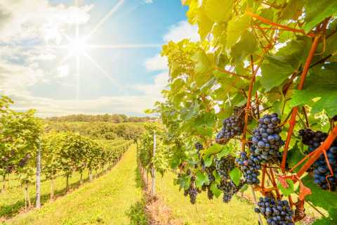 Napa Valley: Guided Wine Tour with Picnic Lunch
