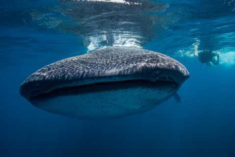 Cancún: Schwimmen mit Walhaien & Playa Norte Beach