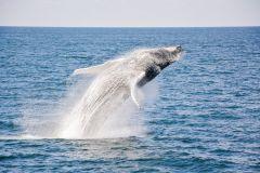 Boston: Cruzeiro de Catamarã com Observação de Baleia