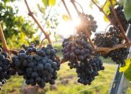 Ab Neapel: Weinprobe und Mittagessen am Vesuv