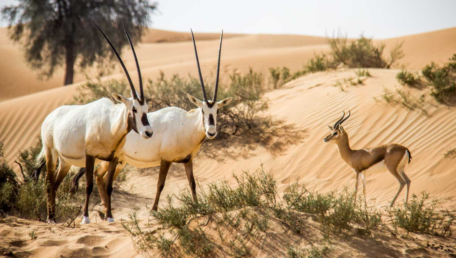 Hasil gambar untuk What do you know about the wildlife of desert safari Dubai